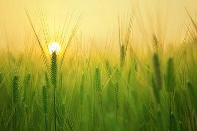 barley-field-1684052__340_202006242229097b6.jpg