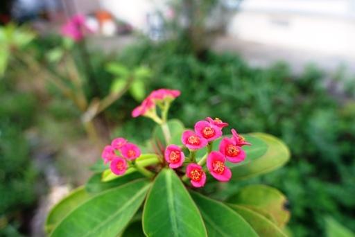 赤花d DSC00223