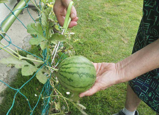 31西瓜収穫