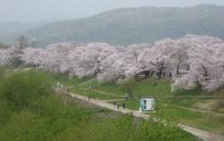 2021背割桜ー1