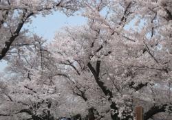 2021背割桜ー3