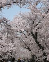 2021背割桜ー4