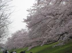 2021背割桜ー6