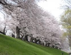 2021背割桜ー7