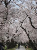 2021背割桜ー8
