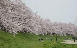 2021背割桜ー9