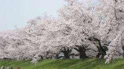 2021背割桜ー11
