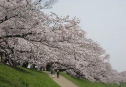 2021背割桜ー12