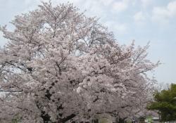 2021背割桜ー16