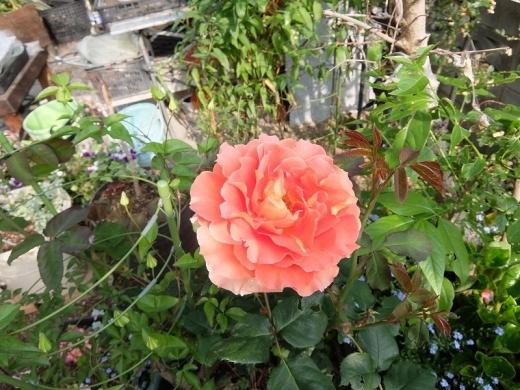 20200511_薔薇8