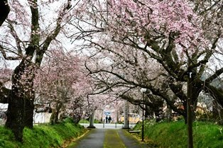 210321しだれ桜