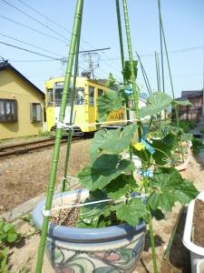 胡瓜を収穫しましたよ